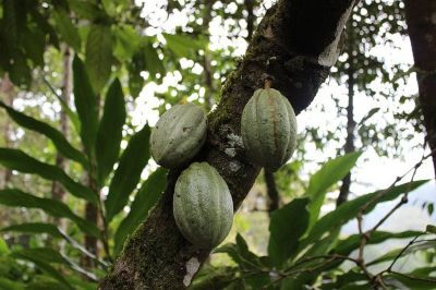 The cocoa tree, where chocolate comes from